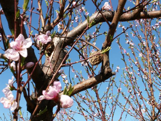 Monilia, cvetanje breskve