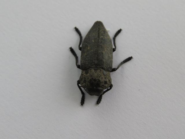 Capnodis tenebrionis,žilogriz