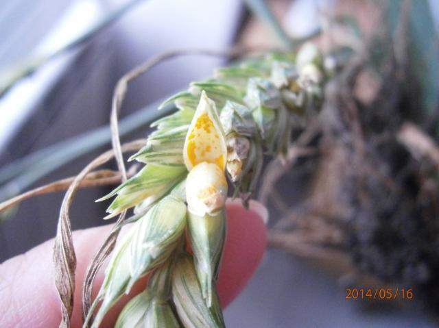 Puccinia spp. na klasu