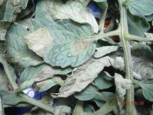Fulvia fulva,plesnivost lista paradajza