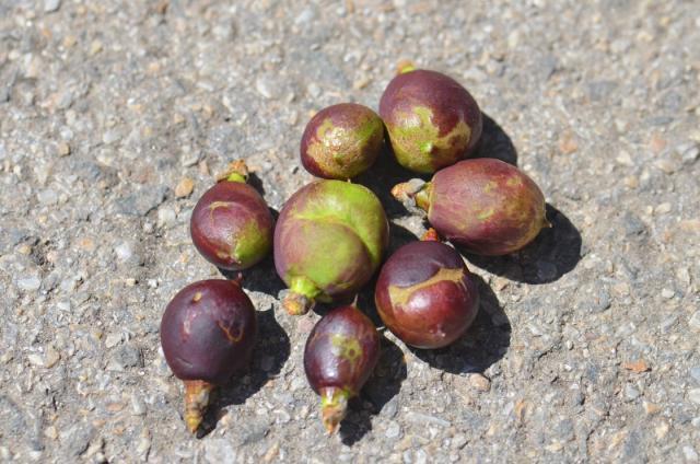 Štete od tripsa na plodovima nektarine.